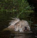 furry dog swiming at water with reeds at suuny summer day stock images