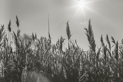 Lake with a reeds in the foreground. Monochrome photo Royalty Free Stock Photos