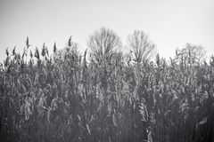 Lake with a reeds in the foreground. Monochrome photo Royalty Free Stock Images