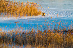 Lake with reeds and fox Royalty Free Stock Photography