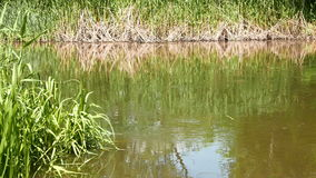 Lake with reeds growing on the banks stock footage