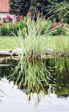 Lake and reflecting green reed in the garden Stock Photography