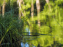 Lake with reflection of green trees Royalty Free Stock Images