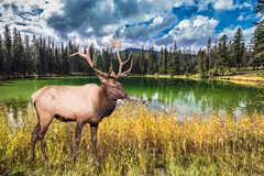 The lake reflects forests and horned deer. Great horned deer stands on the shore of round lake. The lake reflects multi-colored autumn forests.  Rocky Mountains Royalty Free Stock Image