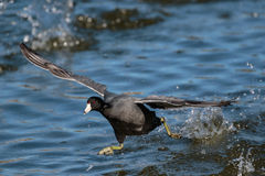 Lake Runner. American Coot running on water towards the viewer Royalty Free Stock Photos