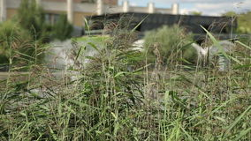 The lake shore in the city with vegetation and reeds. Sunny day in a city park near a pond stock footage