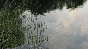 Lake Shore with Sweet Grass and Plants Swinging in the Wind. Lake shore with sweet grass and other plants swinging in the wind. Beautiful reflection on the water stock video footage