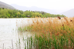 Lake shore tegernsee with reed, bird sanctuary Royalty Free Stock Photo
