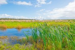 Lake shoreline with reed below a blue cloudy sky in autumn. Lake shoreline with reed below a blue cloudy sky at fall Royalty Free Stock Image