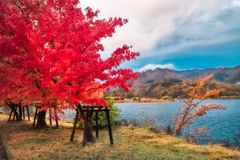 Lake side at Lake Kawaguchi, one of the scenic five lakes - in the neighbourhood of Mount Fuji, Japan. Flaming red tree in autumn in Fujikawaguchiko resort town stock images
