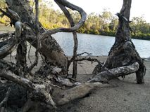 Lake side tree calliope QLD Australia stock photography
