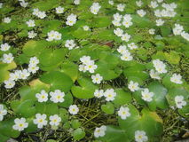 Lake of small white flowers Royalty Free Stock Image