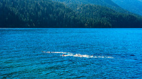 Lake snorkelers. Crescent Lake in northwest Washington state with a pair of snorkelers just under the surface Stock Photography