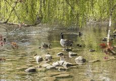 A lake with some ducks, Bakewell, England. This image shows a shallow lake with some ducks. It was taken in Bakewell, England Royalty Free Stock Photo