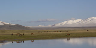 Lake Son-Kul, Kyrgyzstan. Horses grazing Royalty Free Stock Images
