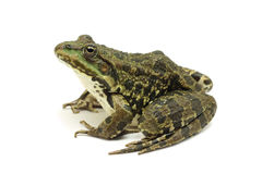 Lake spotted frog Stock Photos