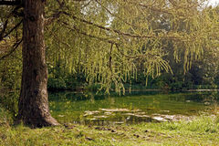On the lake. A spreading tree branches hanging over the water Stock Photos