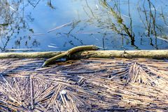 Lake With Decaying Reeds During Springtime. A lake during spring with decaying reeds stock images