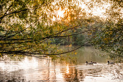 Lake at sunset with ducks Stock Photos