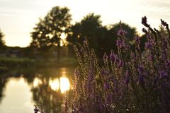 Lake sunset with plants and a blury background stock photos