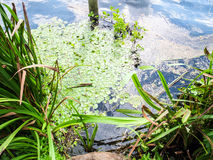 The lake surface with green algae and sea grass Stock Image