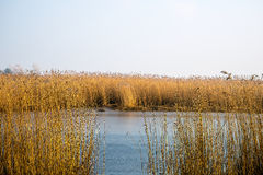 Lake surrounded by reed Royalty Free Stock Photo