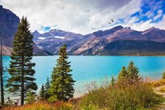 Bow Lake in Rocky Mountains of Canada. The lake is surrounded with rocks and fir-trees. Magnificent sunny day on Bow Lake, the Rocky Mountains of Canada royalty free stock images