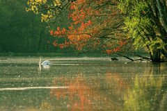 Lake and Swan. In the Spring Morning Royalty Free Stock Photography