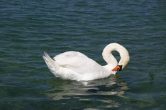 lake swan white στοκ φωτογραφίες με δικαίωμα ελεύθερης χρήσης