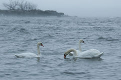 lake swans Arkivfoton
