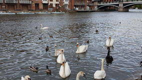 Lake and Swans Stock Image