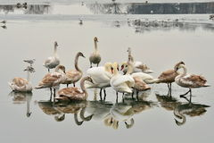 Lake with swans Royalty Free Stock Images