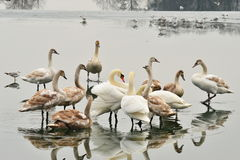 Lake with swans Royalty Free Stock Image