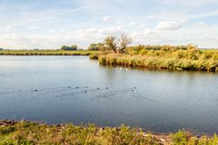Lake with swimming water birds. Lake in a Dutch nature reserve with swimming water fowl. The water surface is evenly rippled. The coots create special v-shaped stock photos