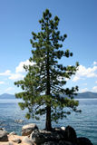 Lake Tahoe Tree. Tree overlooking Lake Tahoe royalty free stock images