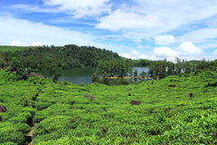 Lake in the tea plantation. Area Stock Photos