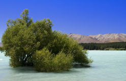 Lake Tekapo. Tree growing on a bottom of Lake Tekapo in South Ssland of New Zealand Stock Photos
