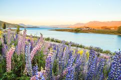 Lake Tekapo Landscape And Lupin Flower Field, New Zealand. Colorful Lupin Flowers In Full Bloom With Background Of Lake Tekapo Royalty Free Stock Photography