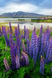 Lake Tekapo Lupin Field Focus Blended Stock Image