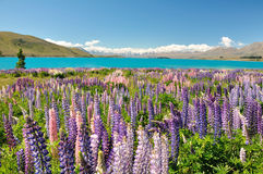 Lake Tekapo, New Zealand. Beautiful Lupins & Lake Tekapo, New Zealand. in December 2010 Stock Photo