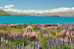 Lake Tekapo, New Zealand. Beautiful Lupins & Lake Tekapo, New Zealand. in December 2010 Stock Photography