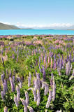 Lake Tekapo, New Zealand Royalty Free Stock Images