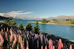 Lake Tekapo, New Zealand. Beautiful Lupins & Lake Tekapo, New Zealand. in December 2010 Royalty Free Stock Images
