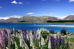 Lake Tekapo New Zealand. Blue sky, blue lake, beautiful lavender, Lake Tekapo, New Zealand Stock Photo