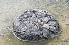 Lake Thetis Stromatolite Stock Photography