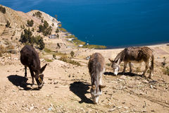 Lake Titicaca,Bolivia royalty free stock photography