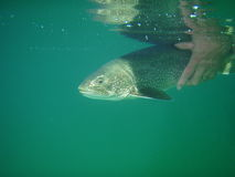 Lake Trout. A lake trout is released, underwater shot stock photo