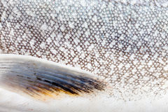 Lake Trout (Salvelinus namaycush) skin close-up Royalty Free Stock Image