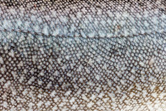 Lake Trout (Salvelinus namaycush) skin close-up Royalty Free Stock Photo