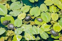Lake Turtles Stock Images